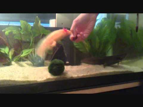 Feeding the axolotls bloodworm