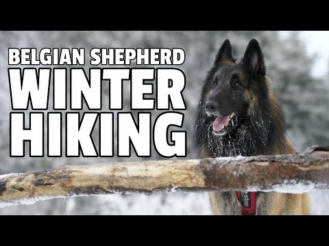 Snowy Mountain Hike with a Belgian Shepherd Dog