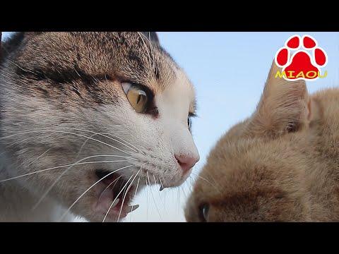 猫の喧嘩 顔が近すぎる威嚇編 face is too scary! Cats Hiss