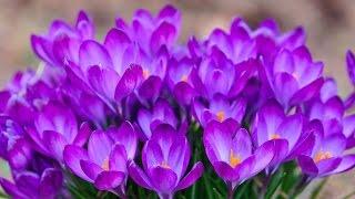 Садовая традесканция: видео-инструкция по уходу своими руками, особенности выращивания, фото