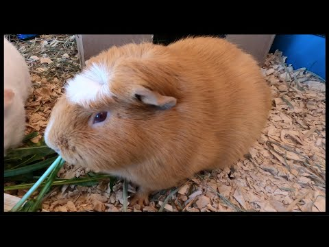 Scared Guinea Pigs: What Are Guinea Pigs Afraid Of ...