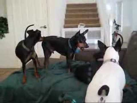 3 Vs 1 Min Pin Manchester Rat Terrier Youtube