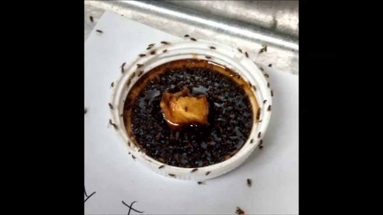 How To Get Rid Of Fruit Flies Effective Quick Fly Or Gnat Extermination Trap You