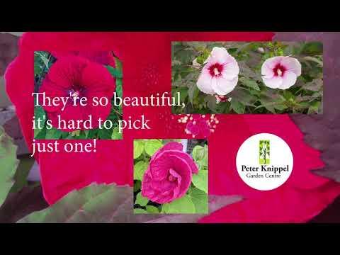 PKGC Hardy Hibiscus