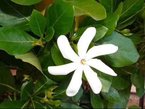 TUVALU SONGS AMATUKU KOTE FAGASELE A FUNAFUTI
