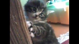 Смешное падение моего котенка - 10 раз смотрю и умираю со смеха!!!