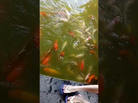 Beri makan ikan Koi dan Ikan Mas