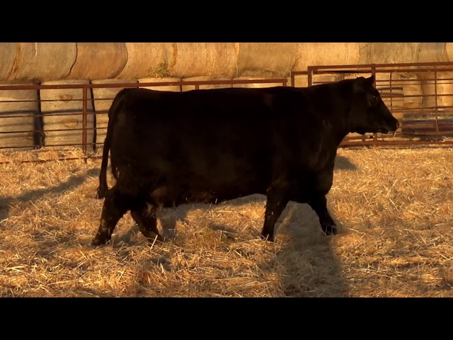 Classic Angus Ranch 3745 Pink ET