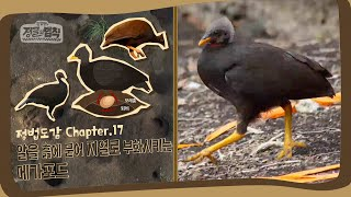 [정법 도감] 땅속에 알을 낳는 무덤새, 메가포드! [정글의 법칙|SBS 방송]