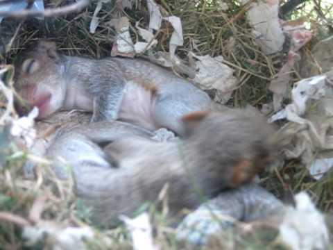 Squirrel Nest In My Window Youtube