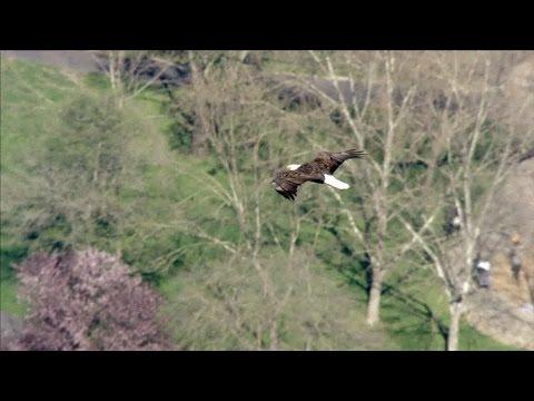 Bald eagle in Moraga
