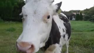 Wiejskie krowy!