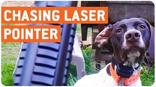 Dog Chases Laser Pointer | Where Can I Buy That?