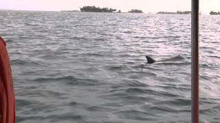 Video - Cute dolphins in the San Blas Archipelago in Panama