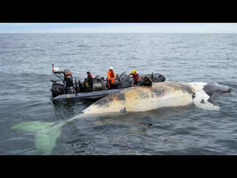 Earthcast SOS - 6 Dead North Atlantic Right Whales