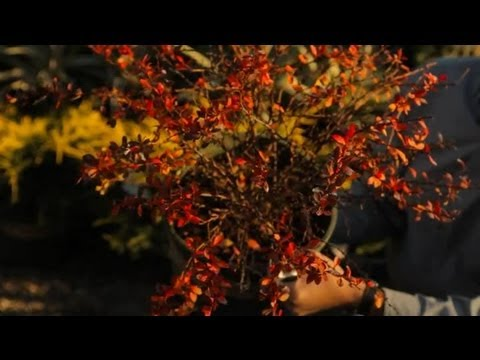 Barberry Bush Care : Professional Gardening Tips