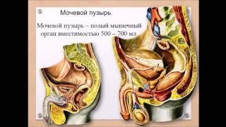 Мочевыделительная система: обзор органов