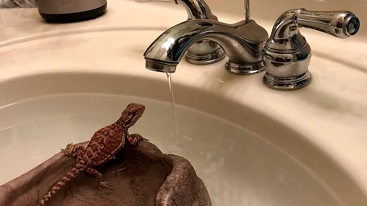 Drinking Water Faucet >> Bearded Dragon Drinking Water - YouTube