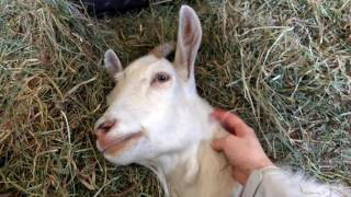 Sympatyczna biała koza