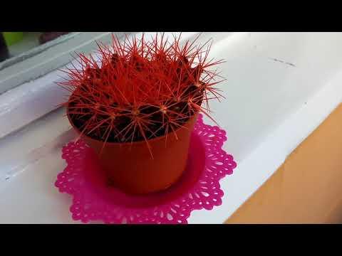 Плоский кактус (ШОК)