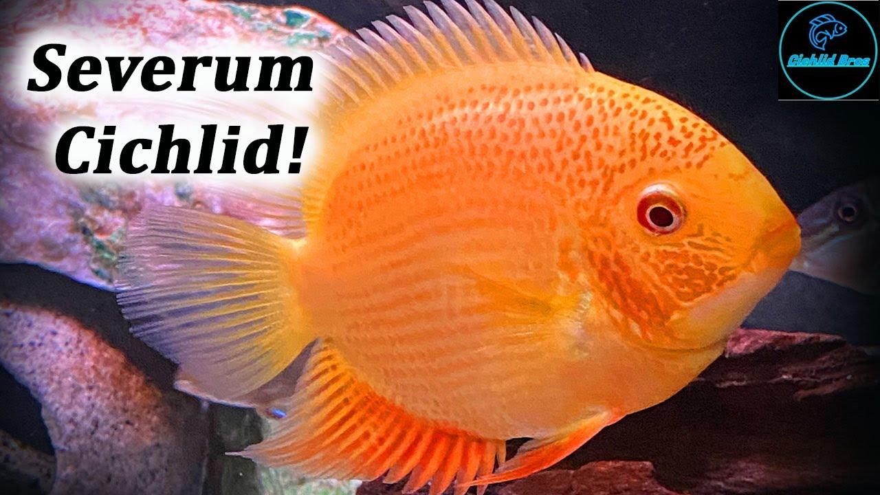 Severum Cichlid Care Guide Species Profile Heros Efasciatus Youtube