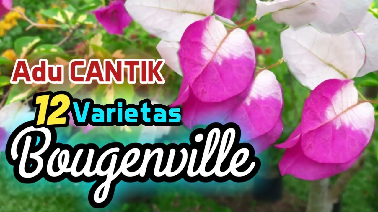 Bougenville Inilah 12 Jenis Bunga Bougenville Tercantik Youtube