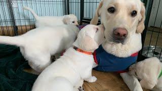 Lab Puppies   LIVE STREAM ! Puppy Cam Jun 28 Part 3