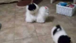 Pomeranian Puppies For Sale Parti Colors