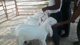 Download Video/Audio Search for rajanpuri bakra , convert