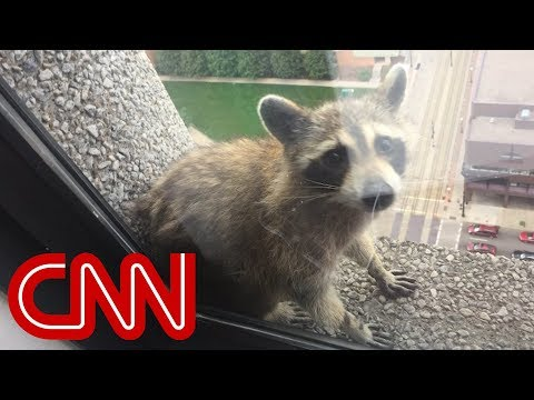 image for Raccoon Climbs 25 Story Building!