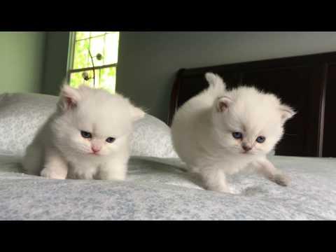 Britsh Longhair White Kittens 2