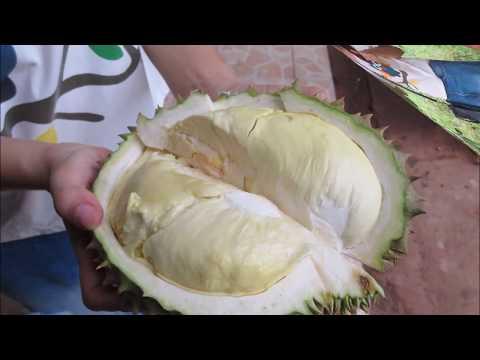 thailand travel - organic durian farming
