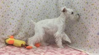 犬種 ミニチュアシュナウザー 毛色 ホワイト 性別 女の子 生年月日 2018...