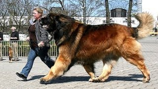 Giant dogs of the world part 3!!!