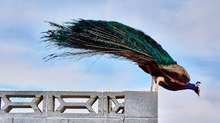Peacocks & peahens @Western Trails Park, Las Vegas, Nevada-P2