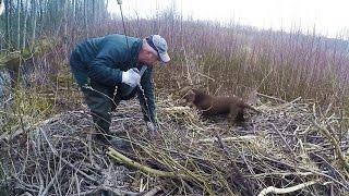 Охота на бобра с таксами на речке