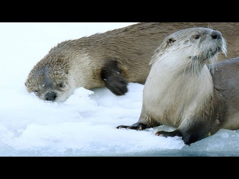 A River Otter Family Is Forced To Find New Fishing Spots