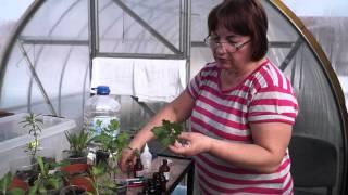 Хризантема,размножение черенками.Как размножить хризантему.