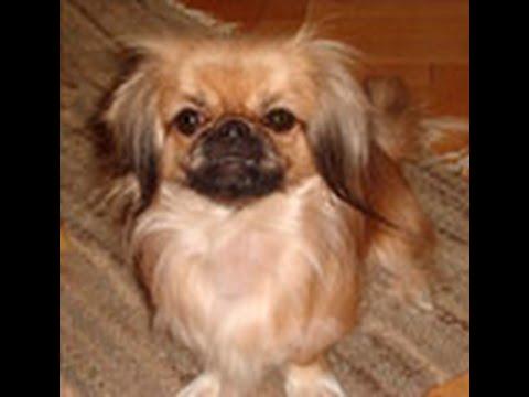how-to-potty-train-a-pekingese-puppy---pekingese-house-training---housebreaking-pekingese-puppies