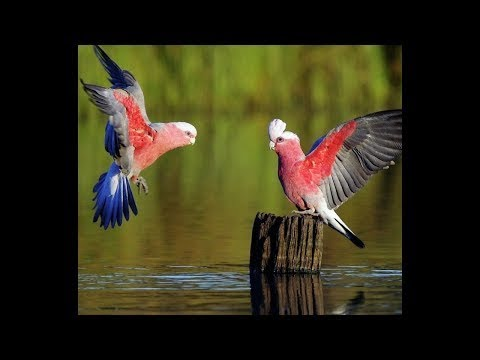 National Geographic | WILD BIRDS | THE OUTBACK OF AUSTRALIA | HD Full Documentary 2017