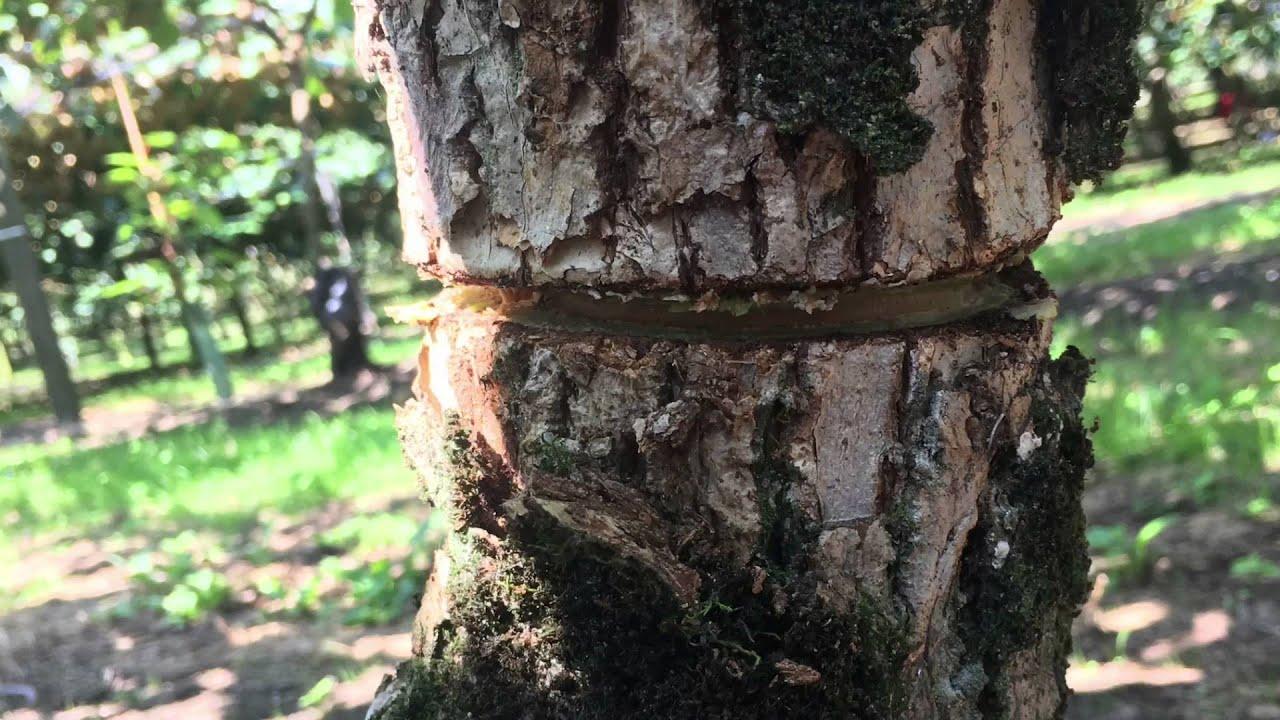 Kiwifruit Girdling 2016 Garcia Contracting Rse Team