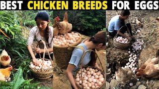 Best Chicken Breeds For Eggs - Rhode Island Red, White Leghorn, Buff Orpington, Astrolorp Chickens