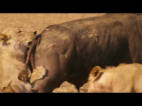 Epic Battle Between Lions and Bull - The Hunt - BBC Earth