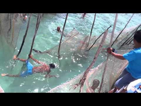 Pelepasan ikan duyung di pulau kokoya pulau morotai