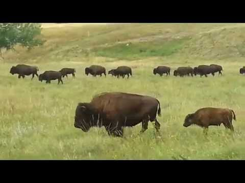 Buffalo roaming around Custer State Park, South Dakota (near Rapid City) August 2014