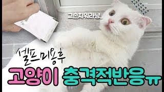 첫 셀프미용후 거울본 고양이 충격적반응!!! 귀여운먼치킨 고양이 모찌의 집사의 좌충우돌 반려묘이야기 고양이집사 모모토이즈