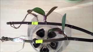 Как вырастить детку орхидеи на срезанном цветоносе