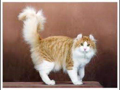 American Curl Shorthair Cat
