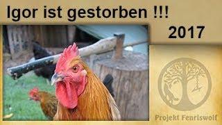 Schwarzkopf Krankheit bei Hühnern. Neues aus dem Hühnerstall