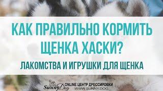 Как правильно кормить щенка хаски? Какие давать лакомства щенку? Выбор игрушки для щенка